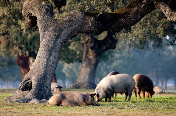 Iberian pigs grazing among the oaks Iberian pigs grazing among the oaks in the field of Extremadura iberian stock pictures, royalty-free photos & images