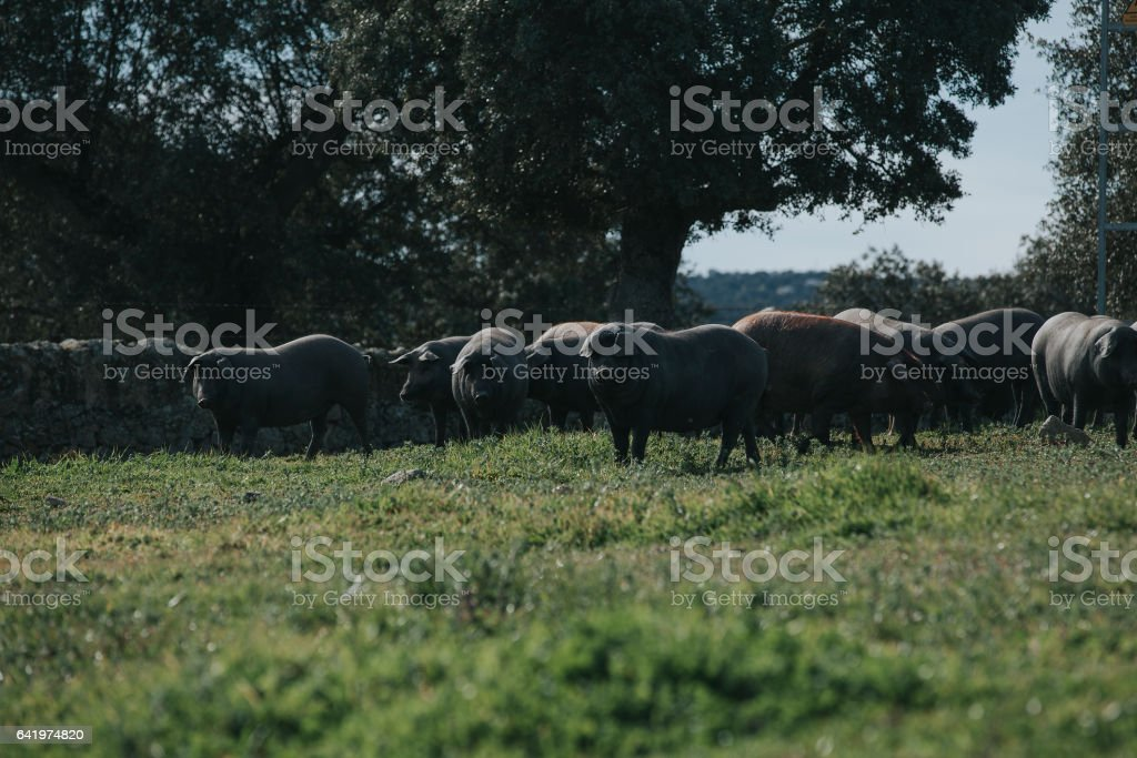 Iberian pigs herd in the countryside stock photo