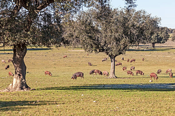 Iberian pigs Iberian pigs in a pastoral forest (dehesa) in the Extremadura (Spain). paddock stock pictures, royalty-free photos & images