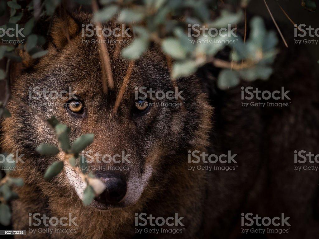 Iberian Wolf (Canis lupus signatus) hidden in the bush stock photo