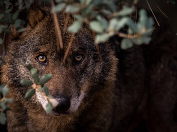 iberischer wolf (canis lupus signatus) im busch versteckt - seltene pflanzen stock-fotos und bilder