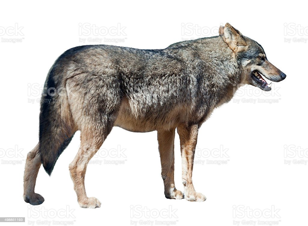 Iberian wolf on white background stock photo