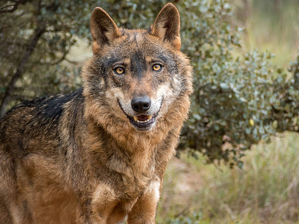 Iberian wolf portrait (Canis lupus signatus) Cute iberian wolf portrait (Canis lupus signatus) with beautiful eyes iberian stock pictures, royalty-free photos & images
