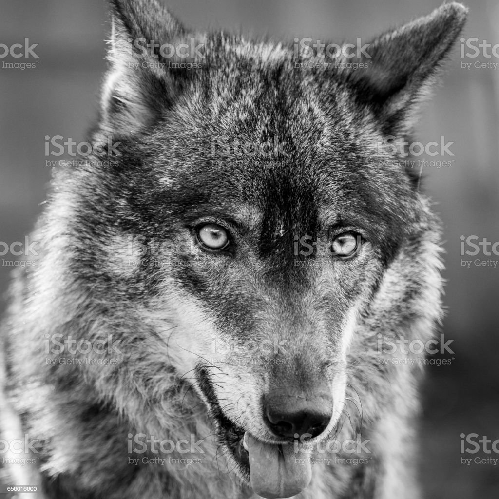 Retrato de lobo ibérico, mostrando a língua (Canis lupus signatus) - foto de acervo