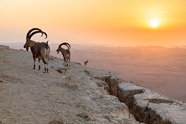 Ibex at sunrise Ibex on a rock at sunrise negev stock pictures, royalty-free photos & images