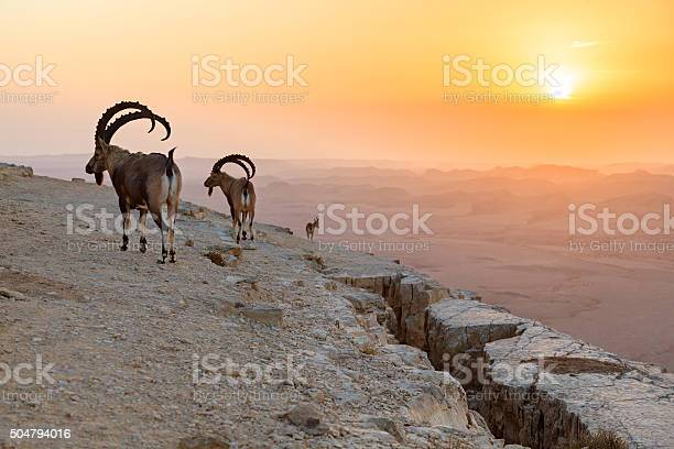 Ibex on a rock at sunrise