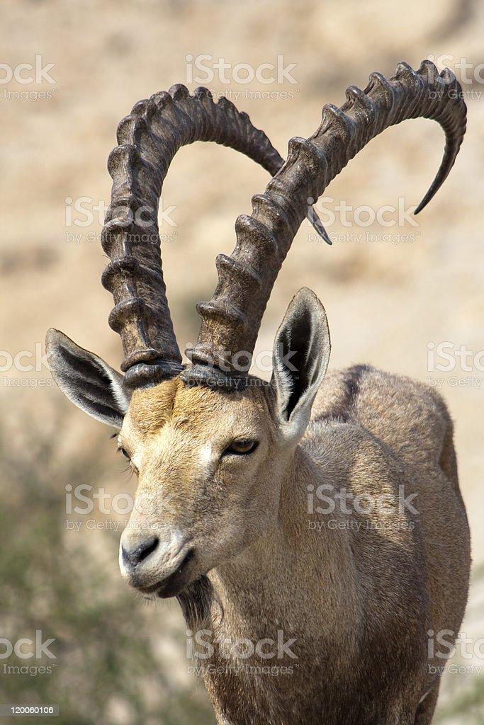 Ibex in Israel stock photo