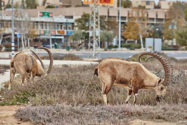 ibex in mitzpe ramon, israel - steinbock mann stock-fotos und bilder