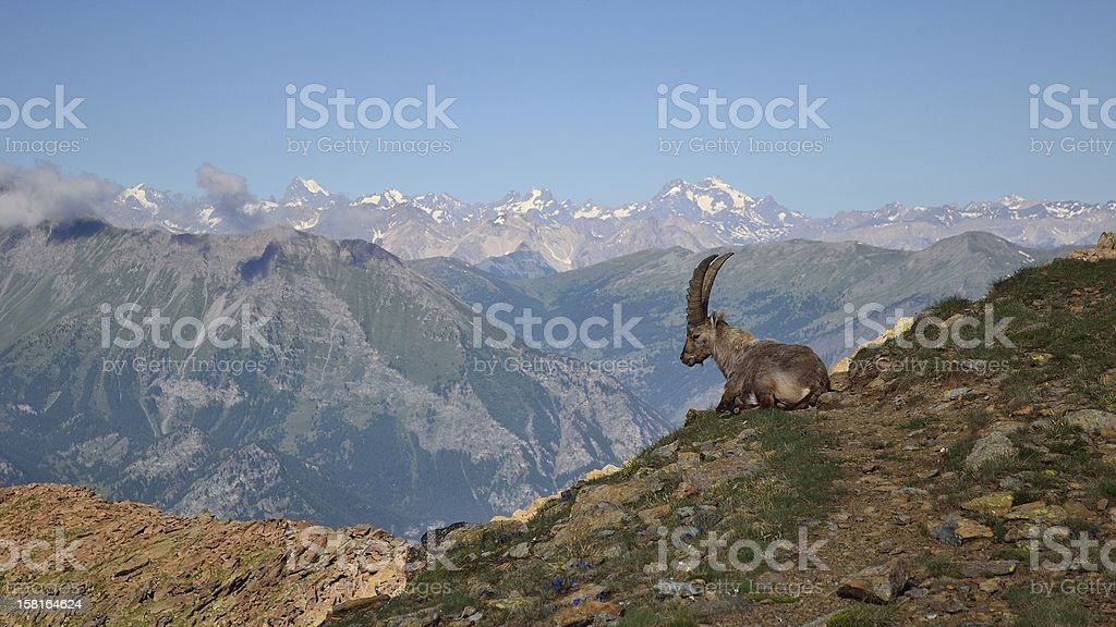 Ibex in scenic mountain view stock photo