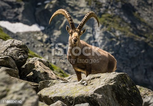 A male Ibex with large horns standing amongst a boulder field in the Swiss alps.