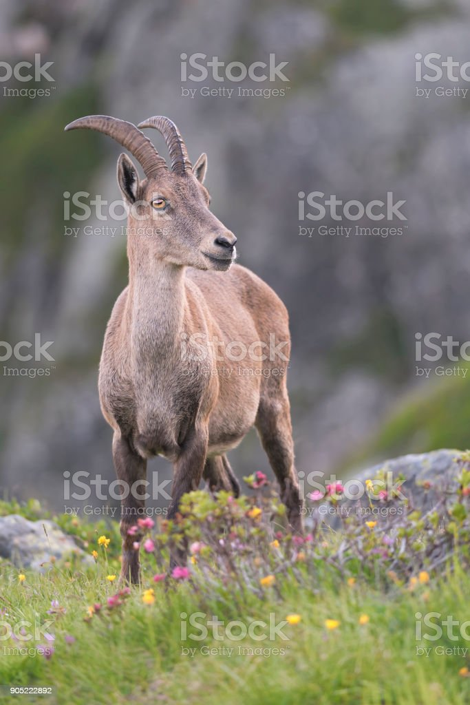 ibex in the high mountains stock photo