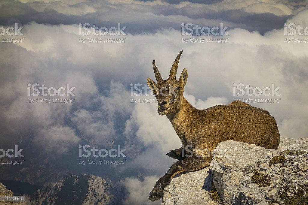 Ibex on mount Montasio stock photo