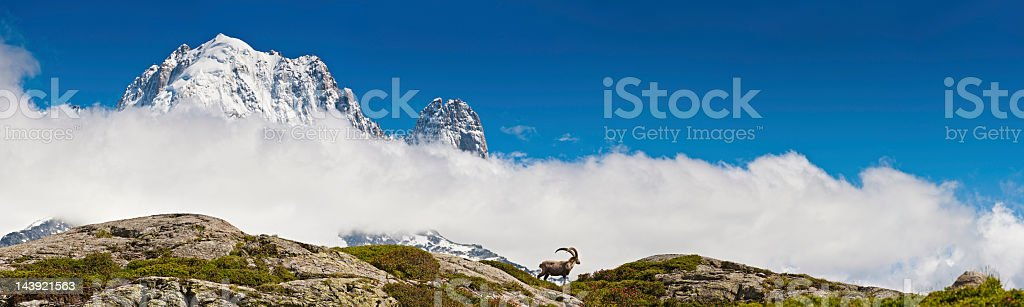 Ibex on mountain ridge overlooked by snow Alpine peaks panorama royalty-free stock photo