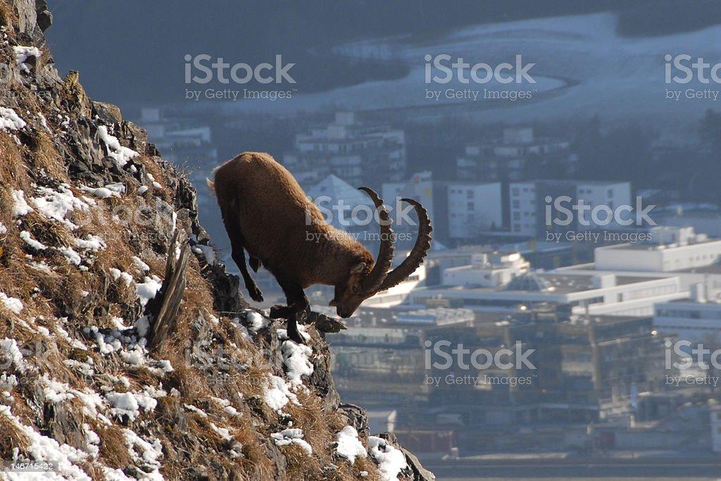 Ibex royalty-free stock photo