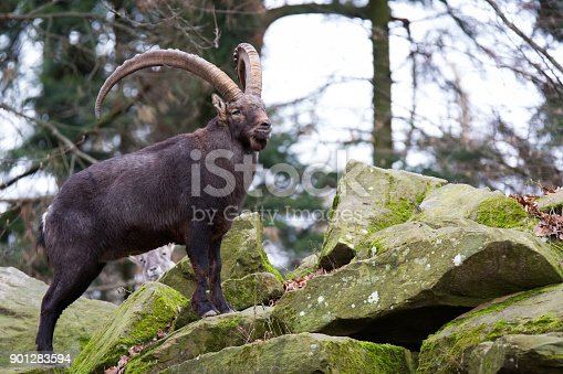 A picture from an ibex