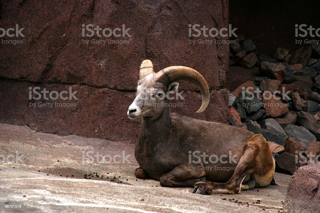 Ibex royalty-free stock photo