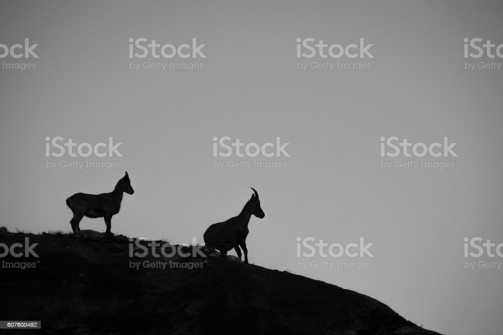 Ibex silhouette black and white stock photo