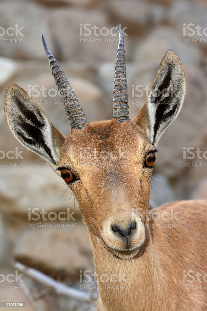 Ibex Young male portrait stock photo