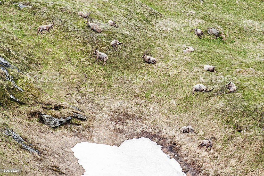 Ibexes at the Pasterze Glacier and Grossglockener Mountain royalty-free stock photo