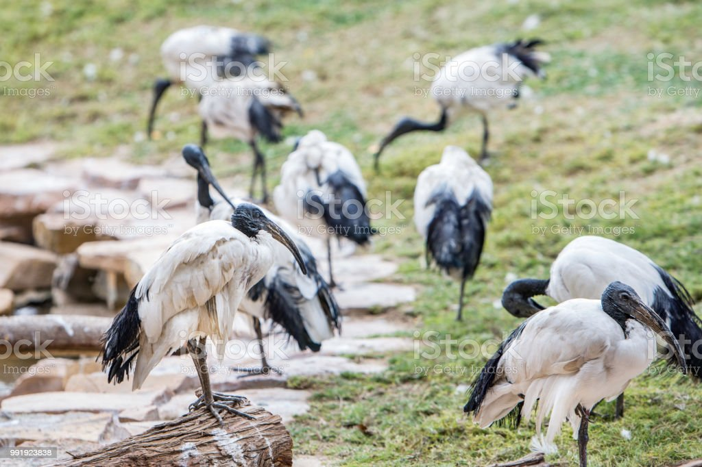 ibis bird stock photo