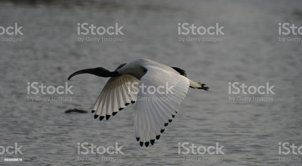 Ibis flying stock photo