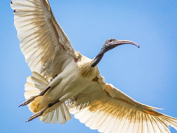 Ibis in flight stock photo