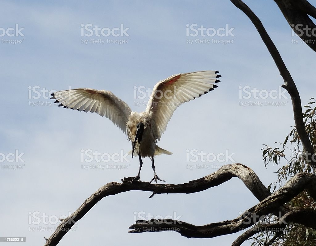 Ibis on the Rise stock photo
