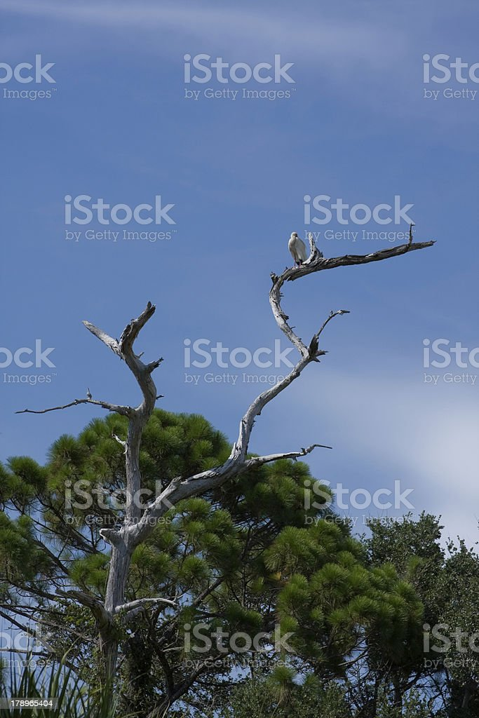 Ibis resting in Tree royalty-free stock photo