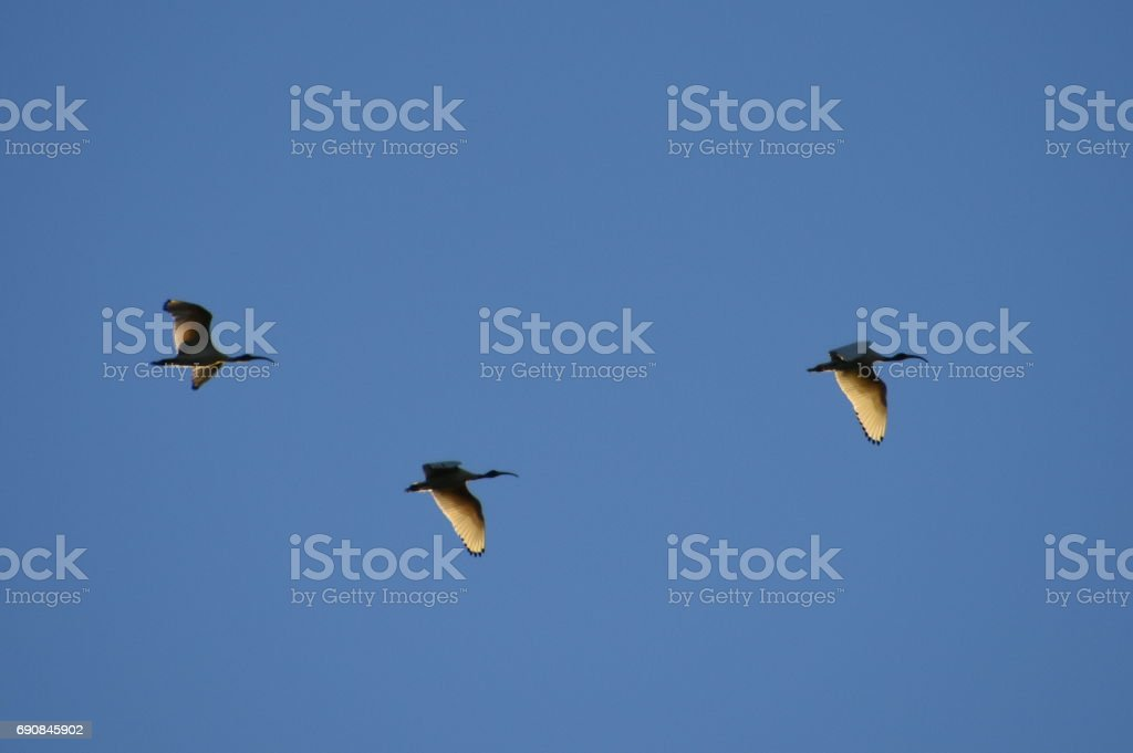 Ibises flying stock photo