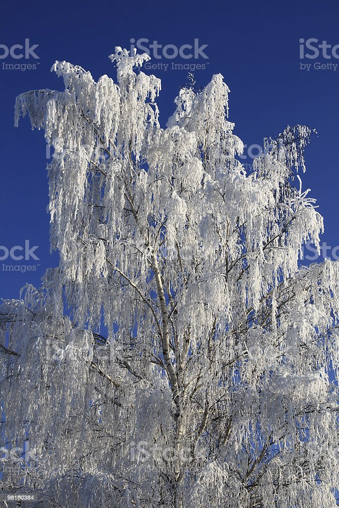 ice birch royalty-free stock photo