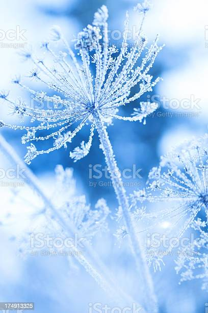 Ice Covered Plant In A Winter Garden Stock Photo - Download Image Now
