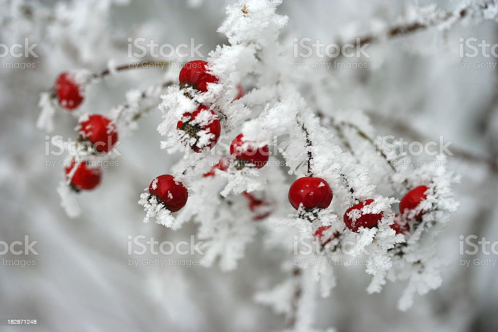 Ice covered red berries royalty-free stock photo