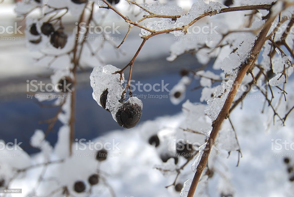 Ice covered seed pods royalty-free stock photo