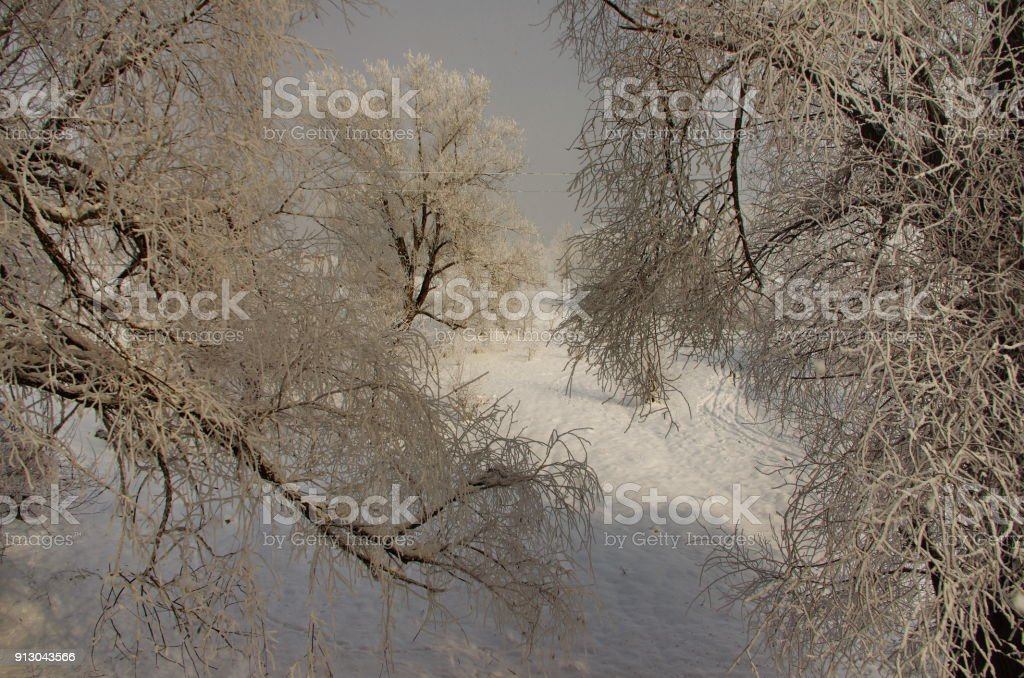 Ice covered trees in snowy forest stock photo