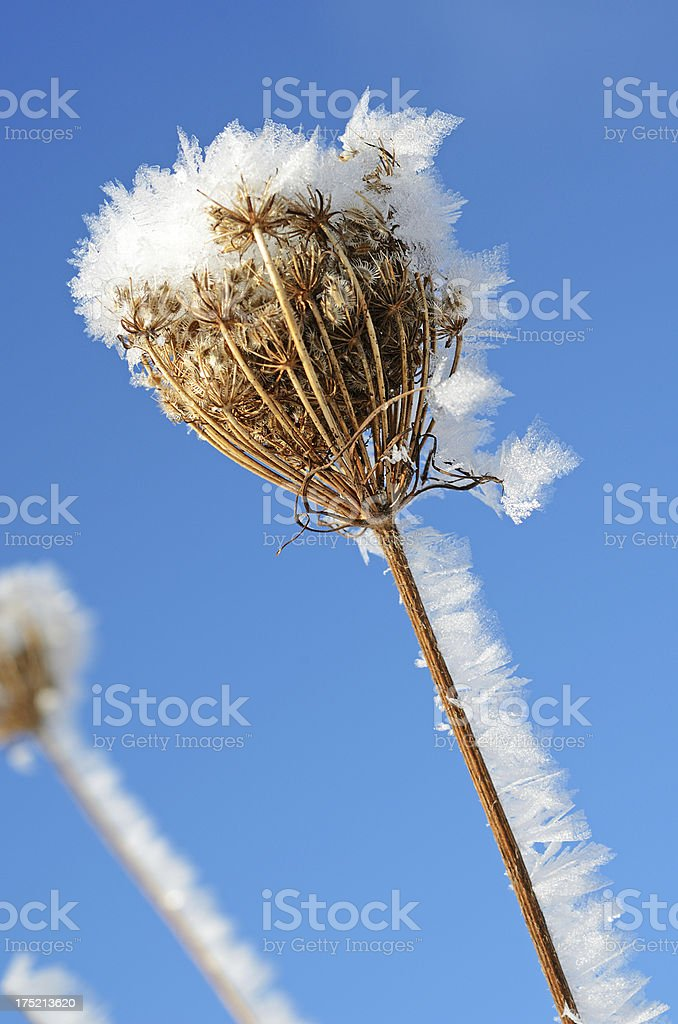 Ice crystals on withered plant in winter royalty-free stock photo