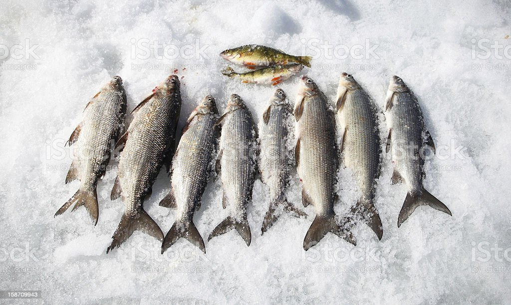 Ice Fishing Catch of the Day royalty-free stock photo