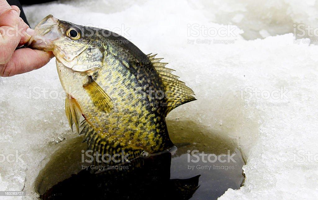 ice fishing crappie royalty-free stock photo