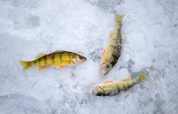 Ice fishing Three yellow perches on ice. perch fish stock pictures, royalty-free photos & images