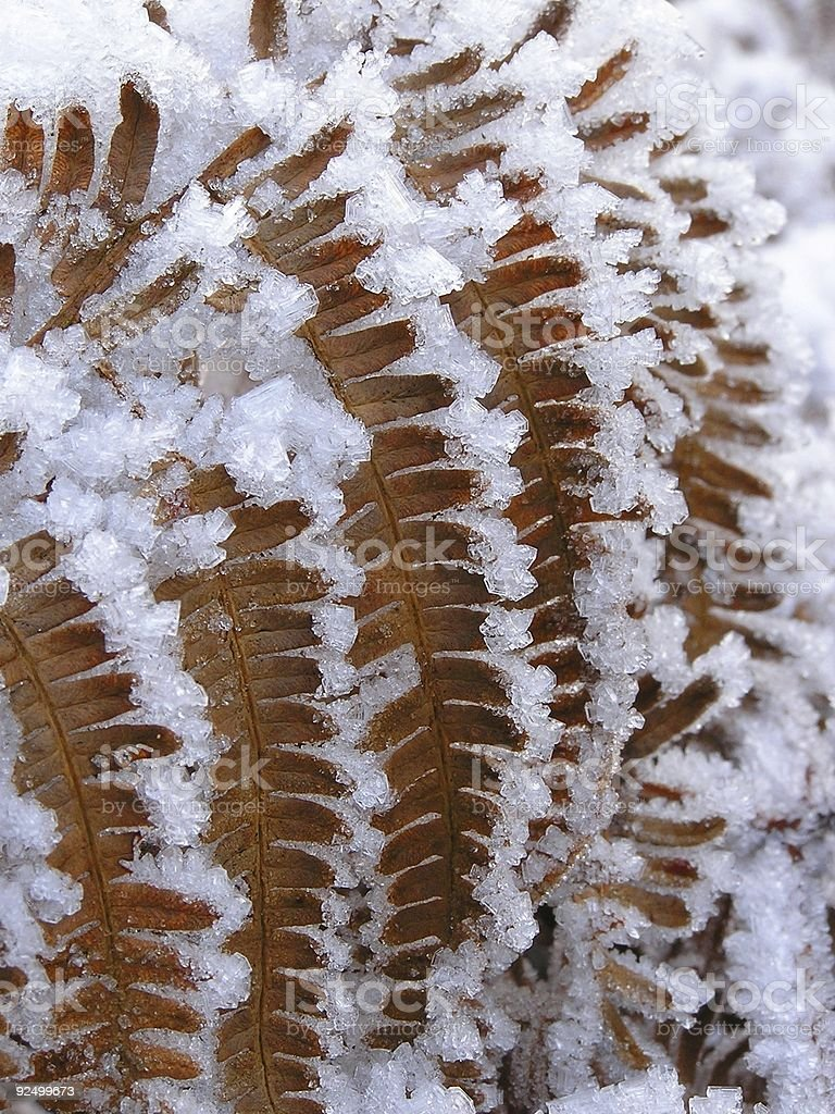 Ice fringed fern - close up royalty-free stock photo