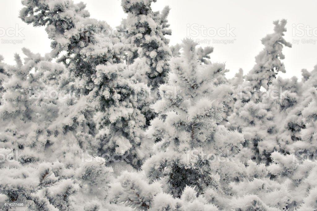 aiguilles de glace sur les branches de l'épinette photo libre de droits