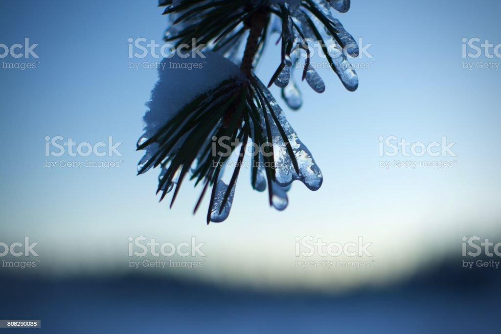 Ice on a pine tree stock photo