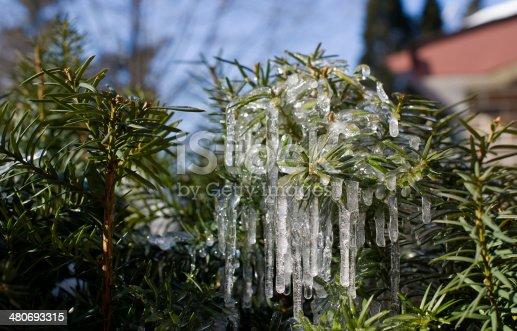 Ice on Pine Tree II