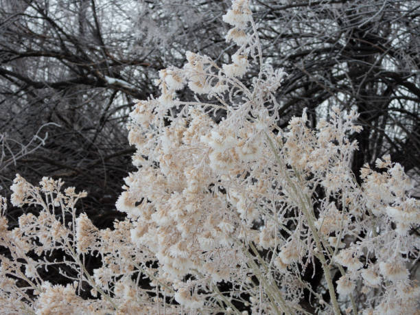 Ice on Rabbit Brush stock photo