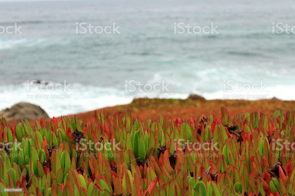 Ice plant close up stock photo