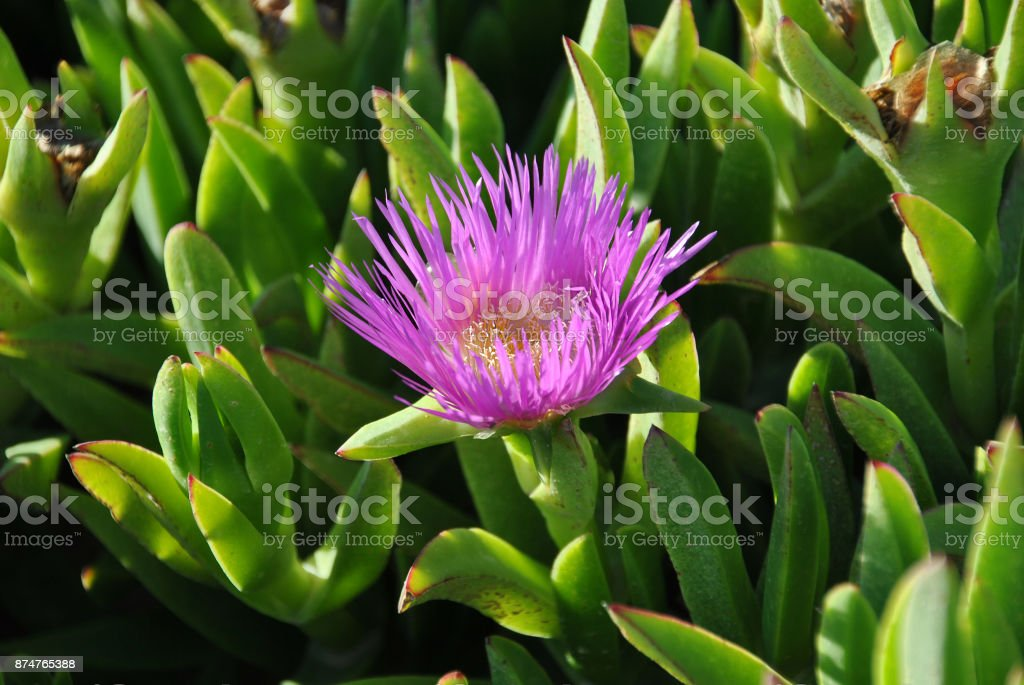 Ice plant growing on the Atlantic ocean coast of Namibia in South Africa stock photo