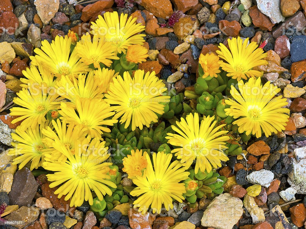 Ice plant (Carpobrotus edulis) stock photo
