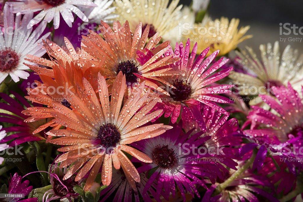 Ice plants royalty-free stock photo