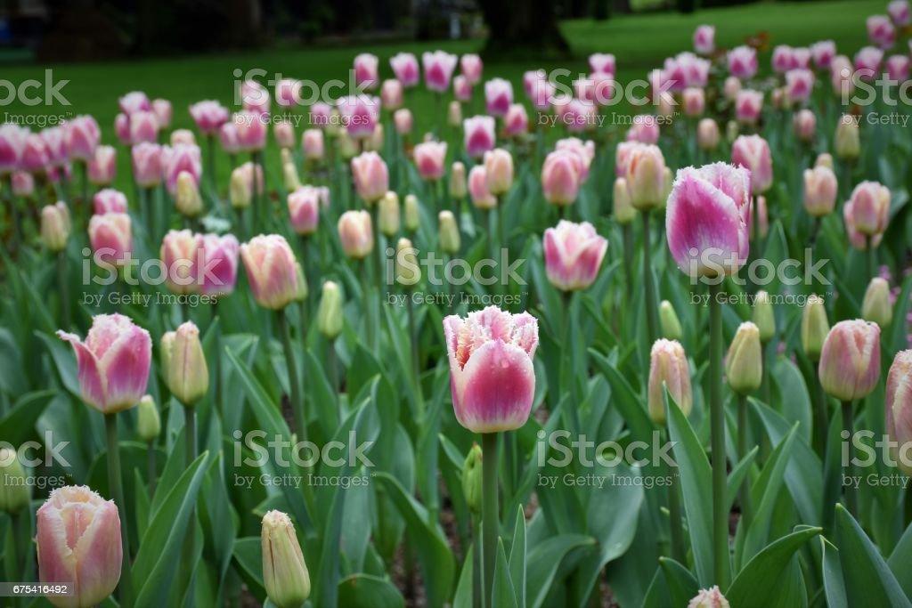 Tulipe de glaces photo libre de droits