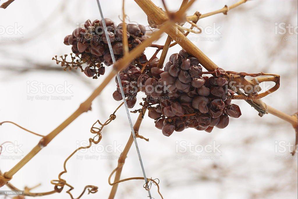Ice wine grapes royalty-free stock photo