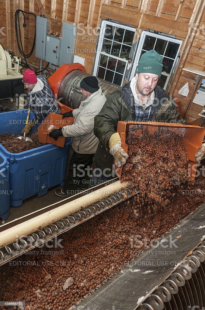 Ice Wine Harvest stock photo